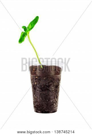 Young green seedling growing in soil isolated on white background