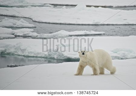 Polar Bear Crossing Ice Floe In Arctic