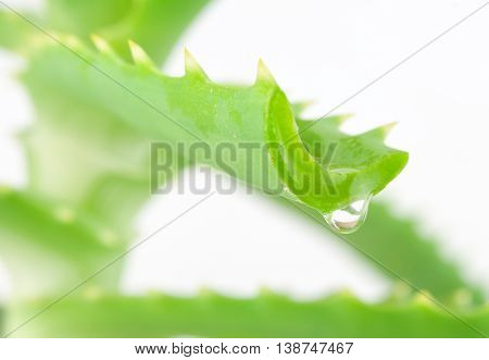 aloe leaf with drop isolated on white
