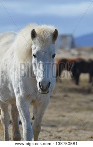 White Icelandic horse wandering away from a herd of horses.