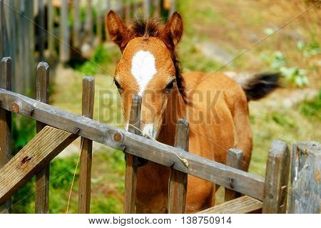 Little Adorable Brown Baby Foal Behind A Wooden Fence