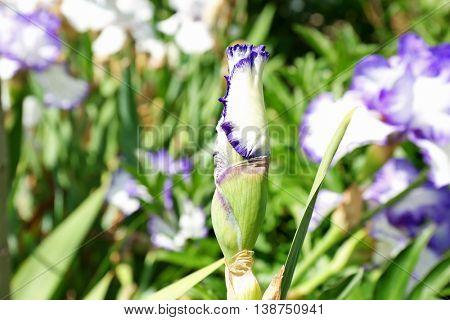 Unopened iris bud on blurred nature background