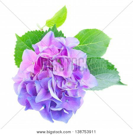 twig of blue and violet hortensia fresh flowers isolated on white background
