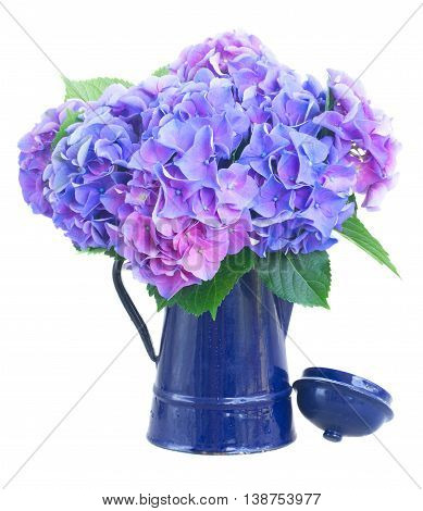 blue and violet hortensia flowers in blue pot isolated on white background
