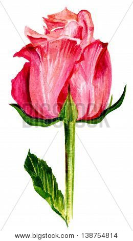 A watercolor drawing of a blooming pink rose hand painted on white in the style of vintage botanical art