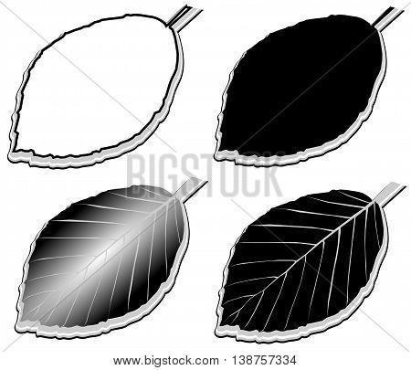 beech ,  vector , isolated beech leaf , beech leaf  illustration,