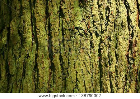 a picture of an exterior Pacific Northwest maple tree trunk