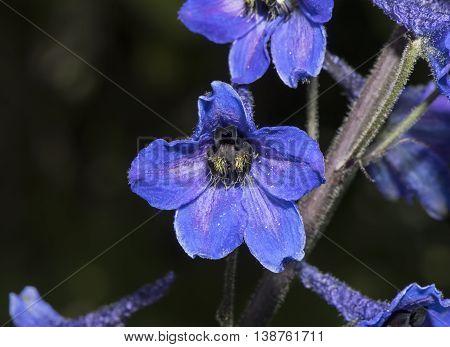 Deep Purple Larkspurs, (delpinium) Flower, Close Up