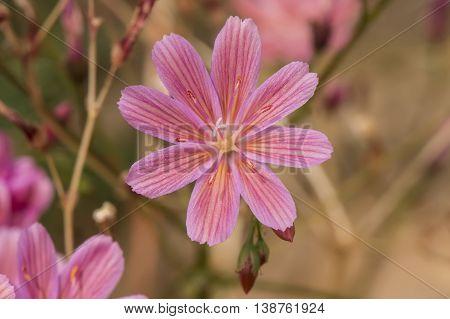 Pink Siskiyou Lewisia, (lewisia Cotyledon) Flower, Close Up