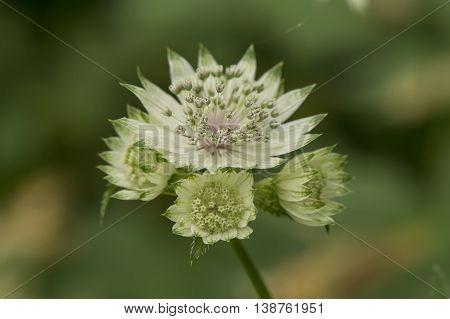 White Ruby Wedding Or Masterwort (astrantia Major) Flower