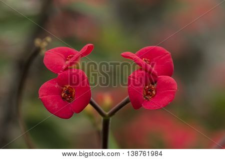 Red Crown of thorns (Euphorbia milii) flower close up
