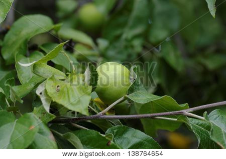 Apple tree in the garden. Branch with immature fruit.