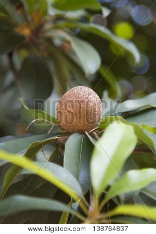 Organic and fresh sapodilla on tree with leaves
