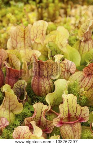 Image of Pitcher plants (Sarraceniaceae) background texture.