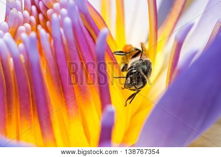 Bee Eating Eating Syrup In The Lotus