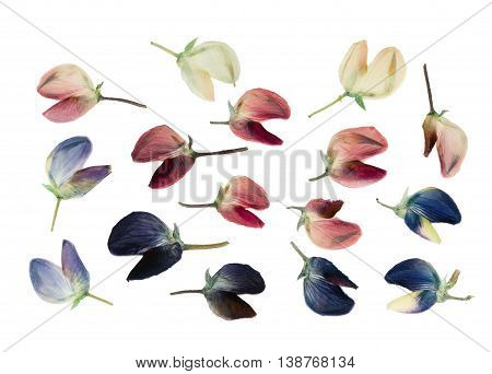 Set of pressed and dried flowers of lupine isolated on white background. For use in scrapbooking floristry (oshibana) or herbarium.