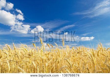 Ripe wheat on a beautiful summer day