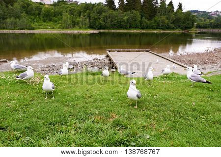 A flock of seagulls walking on the ground looking for food.