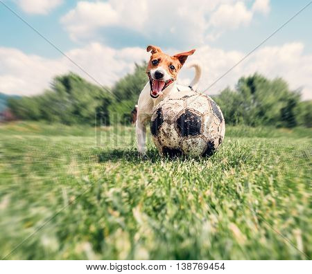 Jack Russell Terrier play with big old ball