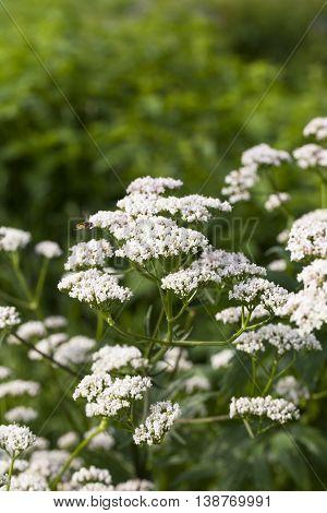 Flowers of Valeriana Officinalis or Valerian plant, used to treat insomnia in herbal medicine, in the herbs garden at summer.