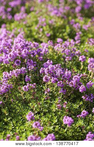Thyme( Thymus vulgaris) plant growing in the herb garden