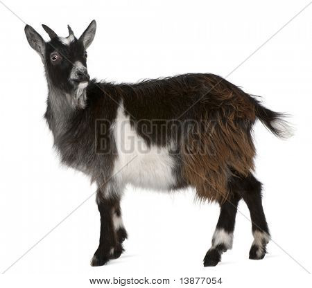 Common Goat from the West of France, Capra aegagrus hircus, 6 months old, in front of white background
