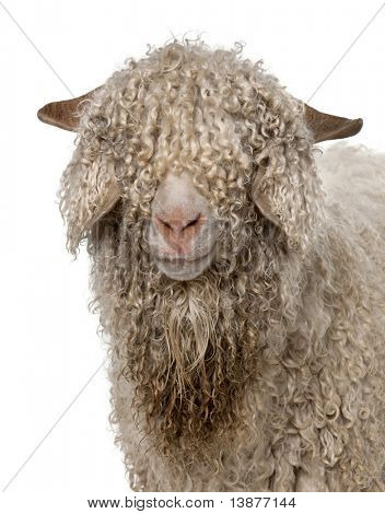 Close-up of Angora goat in front of white background