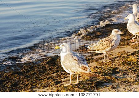 Seagulls are standing on the shore of the Baltic Sea looking around at sunset in Kolobrzeg in Poland