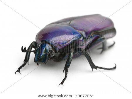 Beetle, Chlorocala Africana Oertzeni, in front of white background