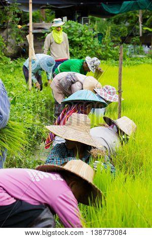 CHIANG RAI THAILAND - JULY 16 : Unidentified Thai farmers preparation rice seedlings for planting on July 16 2016 in Chiang rai Thailand.