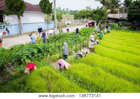 CHIANG RAI THAILAND - JULY 16 : Unidentified Thai farmers preparation rice seedlings for planting on July 16 2016 in Chiang rai Thailand. Wide shot
