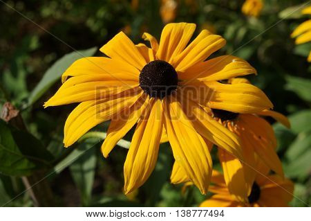 Cutleaf coneflower (rudbeckia) yellow  with brown centre flower .