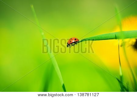 ladybug on a spring meadow morning, springtime