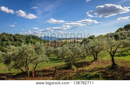 Olive Fields Of Tuscany