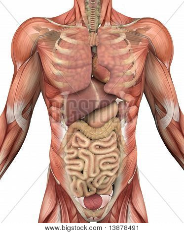 Male Torso With Muscles
