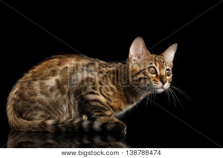 Little Bengal Kitty Sitting and Funny Looks Isolated Black Background, Beautiful Spots on gold, Side view
