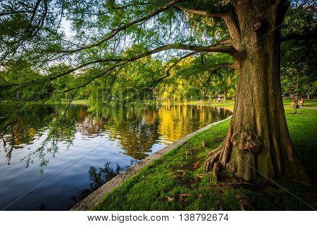 Tree Along The Lake At The Boston Public Garden, In Boston, Massachusetts.