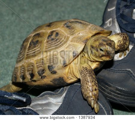 Tortoise Climbing Over Sneakers