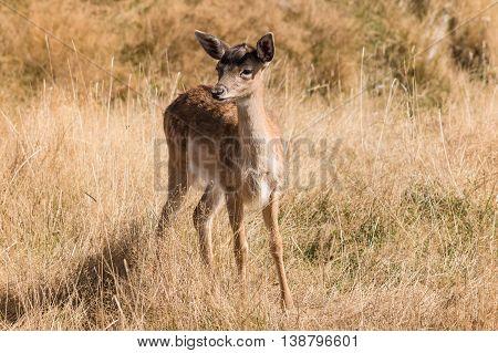 alert red deer fawn standing on meadow