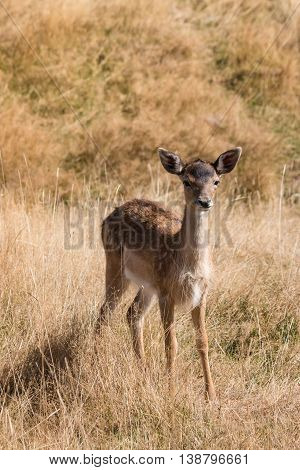 close up of alert red deer fawn