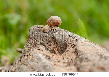 the big brown snail creeps on a long snag,