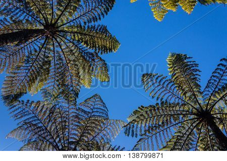 isolated silver fern trees against blue sky