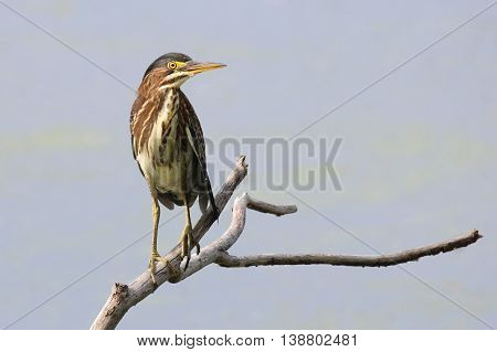 A juvenile green heron perching on a branch near a pond.