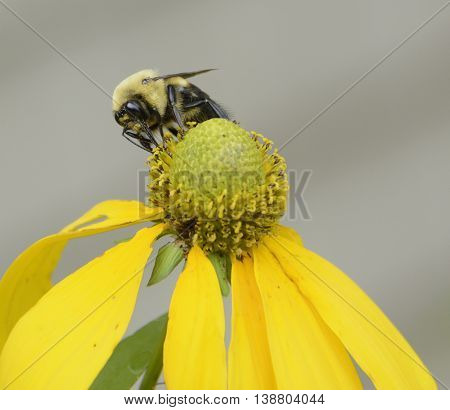 A Common Eastern Bumble Bee - (Bombus impatiens) - harvesting nectar in York County Pennslyvania, USA.