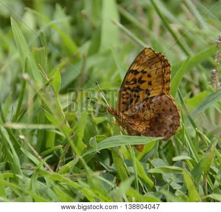 A Variegated Fritillary butterfly (Euptoieta Claudia) sitting amidst grasses in Carroll County Maryland, USA.