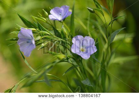 Blue Flax Flowers, Linum Usitatissimum