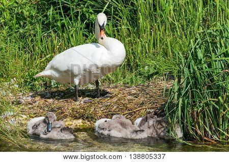 Natural image of a Mother Swan looking over her cygnets cygnets are resting in a clear stream.