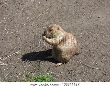 A Prairie Dog eating some green grass.