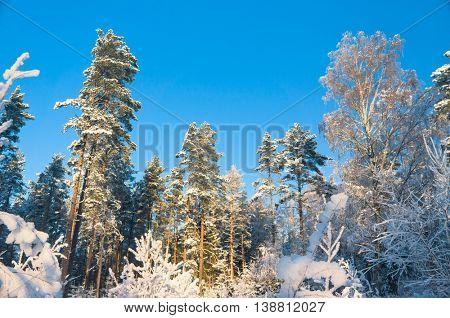 Snowy Fir Trees Wintry Landscape