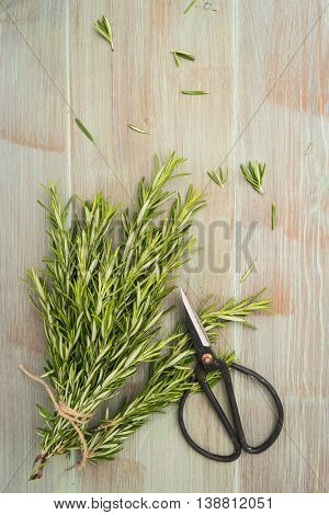 Rosemary for planting with scissors on wooden table. Top view with copy space